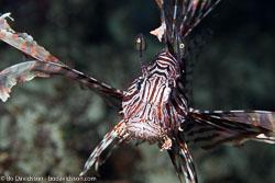 BD-160102-Kalanggaman-1928-Pterois-volitans-(Linnaeus.-1758)-[Red-lionfish.-Drakfisk].jpg